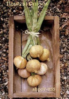 Harvest Onions Epattern