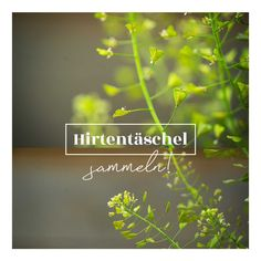 Hirtentäschl Nose Bleeds, Fried Cabbage Recipes, Medicinal Plants, Home Remedies, Diy, Health