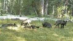 Shasta Pack pups, in Northern California... A gray wolf pack has established itself in California, the first family of wolves known in the state in nearly 100 years.