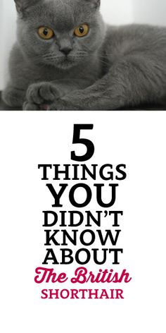 5 Things You Didn't Know About The British Shorthair :)