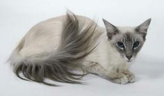 Very interesting post: 13 Balinese Cat Photo.сom lot of interesting things on Funny Cat. Funny Cat Photos, Funny Cats, Funny Animal, Pretty Cats, Beautiful Cats, Oriental Shorthair Cats, Balinese Cat, Cat Oc, Cat Reference