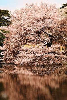 Cherry tree in Tokyo, Japan