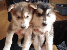 Husky/ German Sheppard puppies! gorgeous