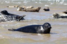 The seals at Blakeney Point.