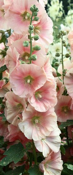 Hollyhocks prefer full sun. They can tolerate partial shade as long as they get at least 6 hours of sun daily (the flowers may be smaller and the colors not as vibrant). via wikiHow.com