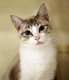Brooklyn * Cat • Siamese • Adult • Female • Medium Baja Animal Sanctuary Vista…