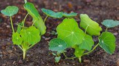 7 pravidel, jak správně pěstovat lichořeřišnice větší (Trapeoleum majus). Recepty, jak využít jedlé květy lichořeřišnice. Odrůdy lichořeřišnice. Jak a proč léčí Magic Herbs, Private Garden, Aloe, Herbalism, Plant Leaves, Pesto, Backyard, Vegetables, Gardening