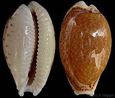 Naria spurca spurca  (Linnaeus, C., 1758) Dirty/Atlantic Yellow Cowry Shell size 12 - 40 mm Mediterranean - Angola; Canaries; Red Sea (introd.)