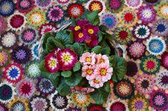 VÅRLI : Primulateppe - et fargerikt vårteppe