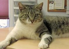 #MeowMonday: Tristen the Cat, up for adoption at @FACEspayneuter