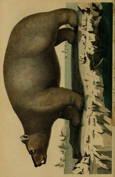 Polar bear, Universal System of Natural History: Including the natural history of man, Ebenezer Sibly & Carl von Linné, 1794.