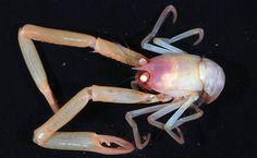 Expedição fotografa seres marinhos; acima, crustáceo parente dos caranguejos
