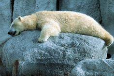 """Résultat de recherche d'images pour """"ours polaire comment dort t-il"""""""