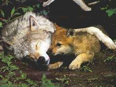 baby fox/wolf