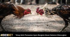 Tahap Akhir Perawatan Ayam Bangkok Aduan Sebelum Ditarungkan Animals, Animales, Animaux, Animal, Animais