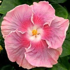 Tropical Hibiscus 'Moonlight Sonata'