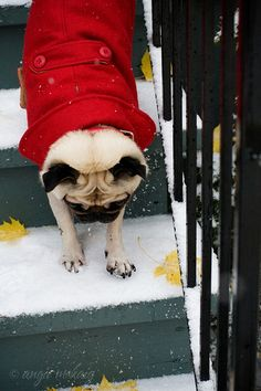 Snow Pug.