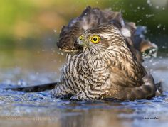 Popular on 500px : Sparrowhawk bading.. by avzon