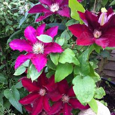 Clematis : back from the dead (happily )