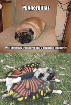 Puggerfly lol