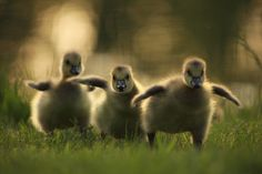 baby geese by NANCY