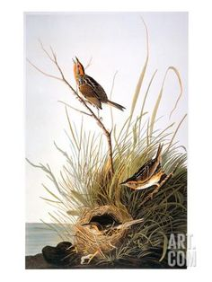 Audubon: Finch Giclee Print by John James Audubon at Art.com