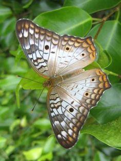 White Peacock butterfly Anartia jatrophae