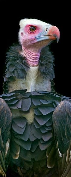 Vulture, you know how they say pets begin to look like you, well this vulture is my sisters and her husband.'s..