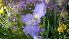 ✣ Beautiful Iris  ✣  Photograph © Ellen Vaman www.facebook.com/ellen.vaman1 #EllenVaman #Photography  #Tasmania #Iris #Flowers #Spring #Nature #Earth #World  #NaturePhotography