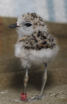 Who has seen a baby Plover in the area? I have! It is a bird found along the shore.