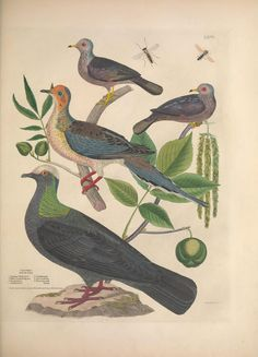 Illustrations of the American ornithology of Alexander Wilson and Charles Lucian Bonaparte : with the addition of numerous recently discovered species and representations of the whole sylvae of North America. By Brown, Thomas, 1785-1862 - Biodiversity Heritage Library