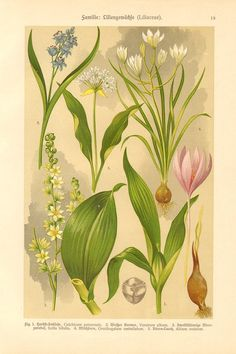 1911 Lily Family Liliaceae Autumn Crocus by CabinetOfTreasures