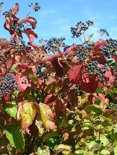 V. dentatum | Fruit from viburnums ( V. dentatum ), such as the selected native Blue ...