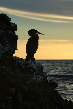 """Galapagos Flightless Cormorant (Nannopterum harrisi) at sunset"""" by Michel Therin-Weise"""