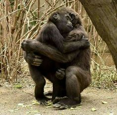 Gorillas are loving creatures Animals And Pets, Baby Animals, Funny Animals, Cute Animals, Strange Animals, Jungle Animals, Wild Animals, Primates, Mammals