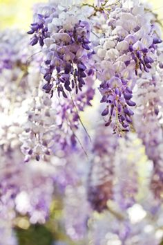 Love the smell of Whisteria!