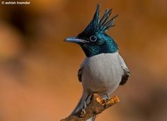 Asian paradise flycatchers are a well-known resident of thick forests and well-wooded habitats (e.g. riverbanks) from Turkestan to Manchuria...