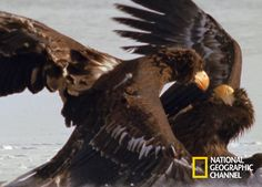 Each day National Geographic brings you an amazing picture from around the National Geographic, Eagles, Bald Eagle, Cool Pictures, Russia, Fox, Bird, Gallery, Amazing