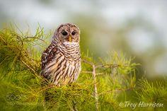 Barred Owl by rottenday #animals #animal #pet #pets #animales #animallovers #photooftheday #amazing #picoftheday