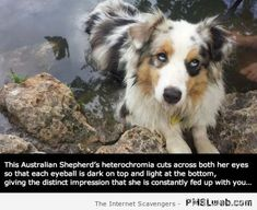 Australian shepherd with heterochromia at PMSLweb.com