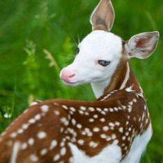 Hermoso cervato con inusuales marcas de albinismo; cara blanca totalmente, pero el derredor de los enormes ojos azules está perfectamente delineado de negro. Bellísimo ejemplar