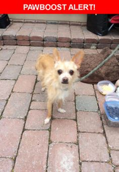 Is this your lost pet? Found in Ottawa, ON K1N 5G2. Please spread the word so we can find the owner!  Caramel long hair chiwawa  Nearest Address: Near St Andrew St, Ottawa, ON, Canada