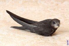 Стриж Animals And Pets, Funny Animals, Cute Animals, Beautiful Birds, Animals Beautiful, Nature Journal, Bird Pictures, Pet Birds, Swift