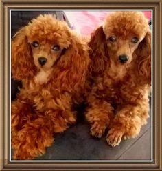 Teacup ginger poodles
