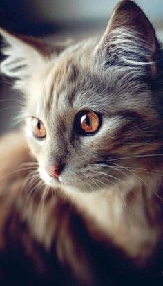 Latest Images fluffy Cat Breeds Concepts : Some people imagine that pet cats are simply kittens and cats, understanding that just about all the same. Cute Cats And Kittens, Cool Cats, Kittens Cutest, Cutest Cats Ever, Pretty Cats, Beautiful Cats, Animals Beautiful, Beautiful Pictures, Pretty Kitty