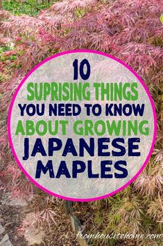 Gardening Tips Japanese Maples are beautiful trees to add to your landscape, whether in your front yard or back yard garden. These gardening tips tell all about how to care for them, including pruning and fertilizing, so you can grow them successfully. Shade Perennials, Shade Plants, Japanese Maple Tree Care, Permaculture, Gardening For Beginners, Gardening Tips, Hydroponic Gardening, Indoor Gardening, Japenese Maple