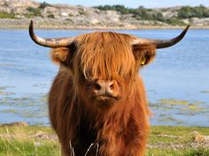 cows with bangs - going to own one of these...someday!