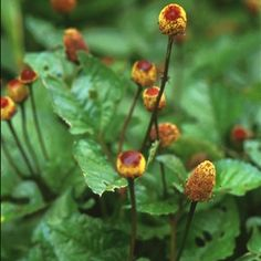 Sechuan buttons/toothache plant/paracress/jambu  (spilanthes oleracea, aka Acmella oleracea, aka spilanthes acmella)