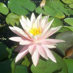 Come check out our water lilies. The shop will be open from 10 until noon tomorrow (Saturday ) Thanks. #pondplants  Neptune's Water Gardens is the premier water feature design and installation company in the #Omaha Metro area. Our naturally balanced low-maintenance ecosystem ponds work with Mother Nature not against her. We pride ourselves in creating water features that appear to have always existed in their surrounding landscape. Whether you choose an ecosystem #pond decorative…
