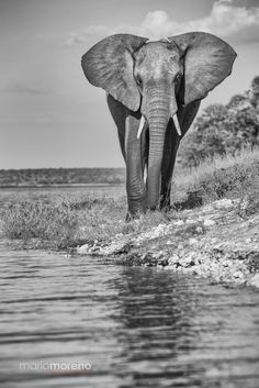 An Elephant walking along the banks of the Chobe River in Botswana. This was captured from the specialized photographic boat we use on the CHOBE 5 Day Safari to join me on an upcoming departure. Elephant Eye, Elephant Walk, Asian Elephant, Elephant Tattoos, Elephant Pictures, Elephants Photos, Save The Elephants, Baby Elephants, Beautiful Creatures
